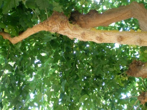 If I look up, the mulberry tree branches are thick and gnarled from all the pruning.